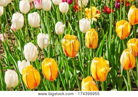 Tulips (Tulipa). Varieties of yellow,