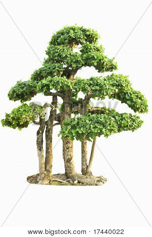 Isolated Fig Tree bonsai