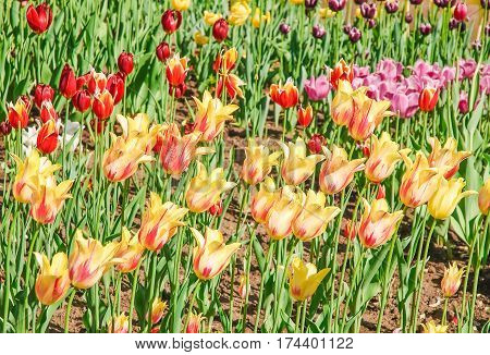 Yellow with red stripes tulips (Tulipa). The Sort Of