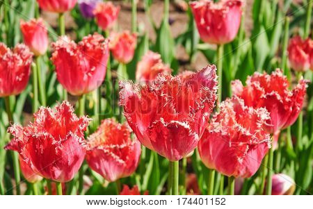Fringed Tulips (Tulipa) coral color. The Sort Of
