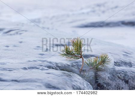 Frozen small pine tree and rock outdoor winter lakeside