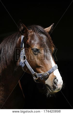 Portrait of a thoroughbred stallion iagainst black background