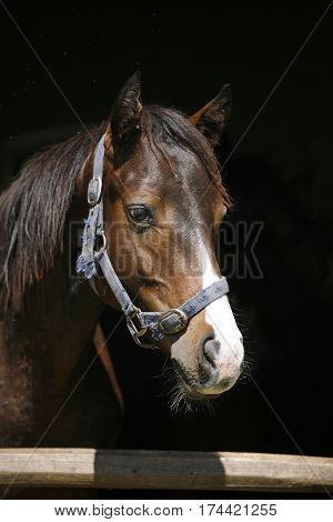 Head shot of a young purebred stallion against black background in the stable