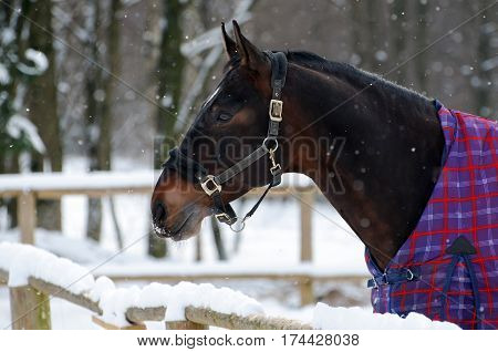 Thoroughbred sorrel horse in bridle and blanket in snow. Walking race horses during the cold season. Trotter brown color is winter in the outer paddock.