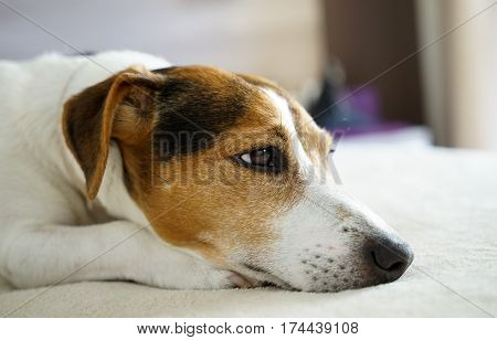 Close up jack russell terrier dog sleepy muzzle portrait on the beige background selective focus shallow depth of field