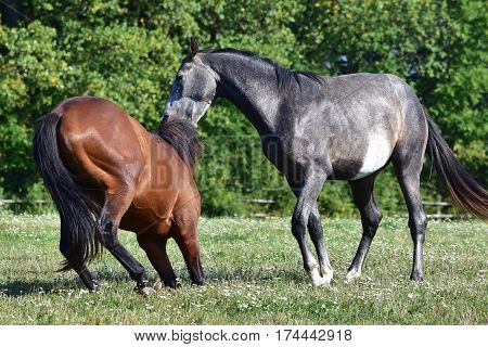 beautiful horses on pasture on a farm in Czech republic