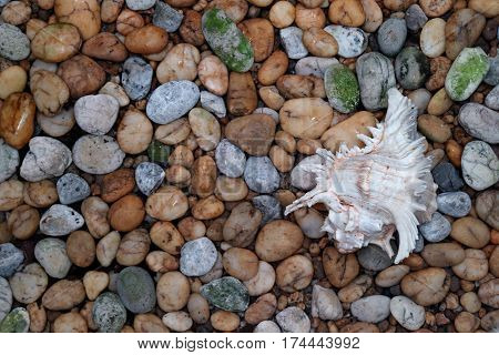 Natural Branched Murex Shell on the Pebble Stone Ground