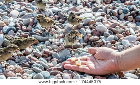 The girl feeds a flock of sparrows with bread