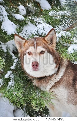 red Siberian husky about snow- covered trees.