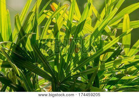 close up green leaf background lady palm or Bamboo palm leaf (Rhapis exclesa PLAMAE)