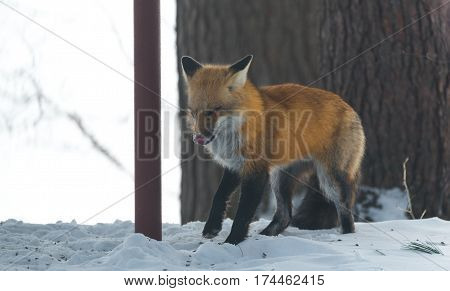 Common Red fox (Vulpes vulpes) in the wild.   Wild animal emerges from a winter woodland, visits cottages & hunts, scavenges for food.  Squints & makes a funny cute face.