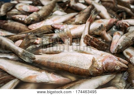Big fish catch. Live large fish are in the water before they are used to people preparing fish dishes. On the verge of life and death. Sleeping with eyes closed.