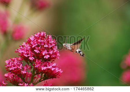 Hummingbird Hawk Moth (Macroglossum stellatarum) sucking nectar from pink flower.