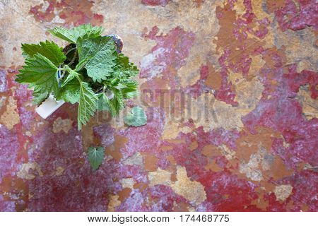 Medicinal Plant Fresh Leaves Of Nettles, Selective Focus. Fresh Nettle Leaf On The Kitchen Table A R
