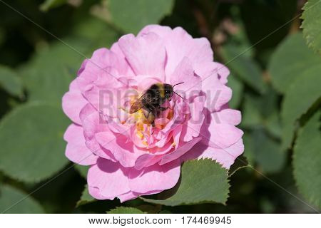 bee insect on dog rose pink flower and green leaves outdoor backround