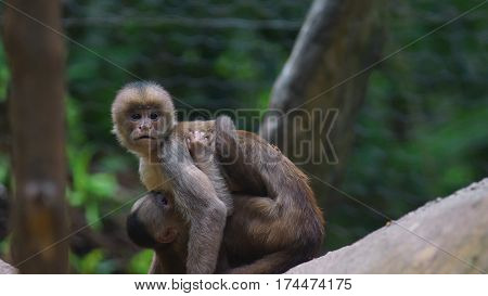 White-fronted capuchin with baby. Common names: mono capuchino. Scientific name: Cebus albifrons