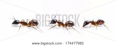 Close up of three ants on a white background