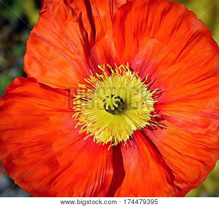Close up of bright beautiful red poppy
