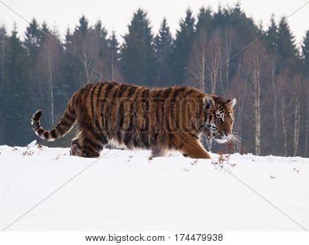Siberian tiger tracing prey on snow in winter russian taiga - Panthera tigris amurensis