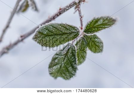 Frost On The Leaf And Snowflakes
