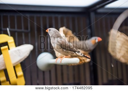 Closeup of zebra finches in cage signing