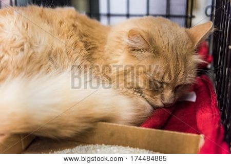 Orange tabby maine coon mix cat sleeping on blanket and waiting for adoption in shelter