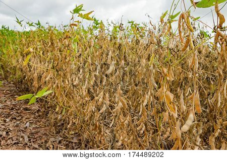 Soybean Plantation With Twigs And Dry Grains