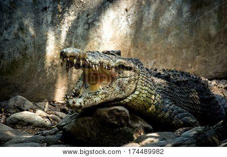 green big crocodile with open jaws and big teeth is on the rocks