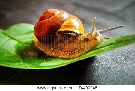 A snail creeps over a green leaf
