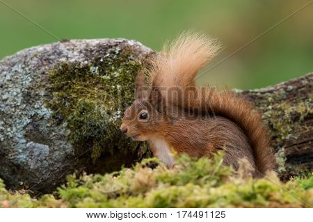 Red Squirrel (Sciurus vulgaris) amongst moss and rocks on forest floor