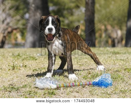 Happy boxer puppy playing with a toy at the park