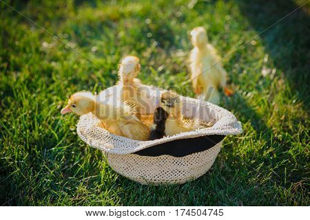 Little cute ducklings in hat. Four small ducklings outdoor on green grass in spring or summer.