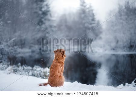 Dog In Winter Outdoors, Nova Scotia Duck Tolling Retriever, In The Forest