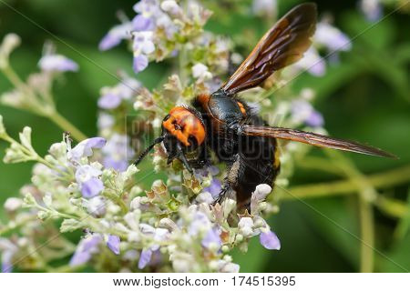 Scola is a giant or a spotted Scola (lat. Megascolia maculata = lat. Scolia maculata) is a species of large wasps from the family of scaly - collecting nectar on a lavender flower . The largest representative of the order Hymenoptera in the fauna of Europ