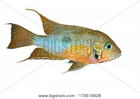 Mexican Fire Mouth (Thorichthys ellioti) - male isolated