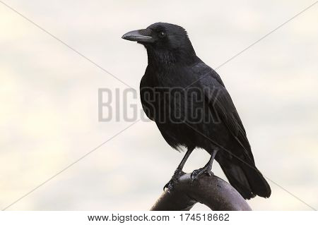 Carrion Crow (Corvus corone) sitting on the quayside in a Harbour