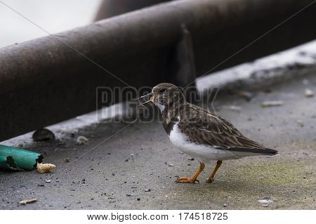 Ruddy Turnstone (Arenaria interpres) standing on the quayside in a Harbour eating a piece of Bread