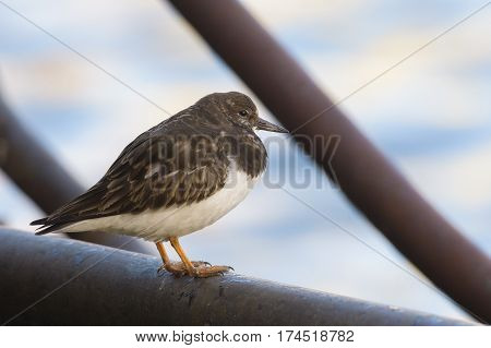 Ruddy Turnstone (Arenaria interpres) standing on the quayside in a Harbour