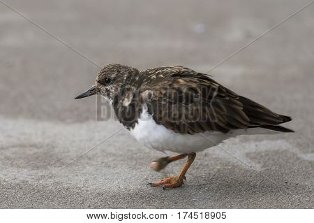 Ruddy Turnstone (Arenaria interpres) walking on the quayside in a Harbour