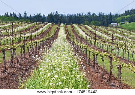 Grape vineyard of Pinot Noir in Oregon State with summer white blossoms between rows with blue sky