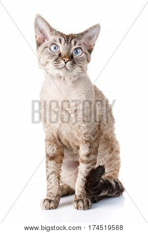 gray devon rex cat siting on white background and looking camera