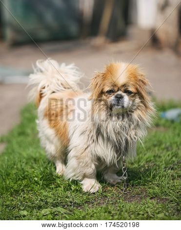 Funny red-haired pekingese dog look in camera