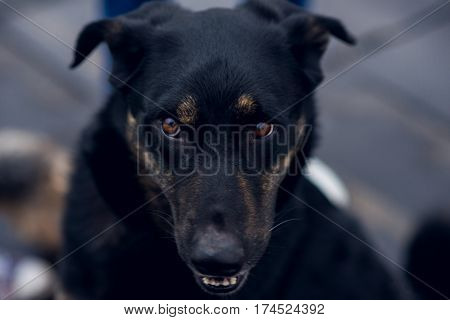 Husky-Mix, black mongrel dog angry, black mongrel dog angry