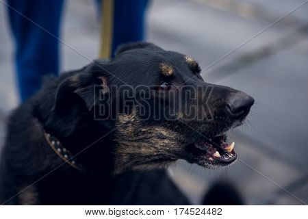 Happy half-breed dog, beagle, black mongrel dog barks