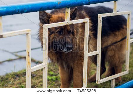old german sheepdog with grey snout, dog of breed dog at the fence waiting for the owner