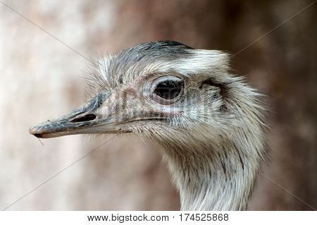Close up of a greater rhea in a park