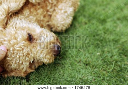 Poodle On Grass