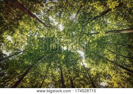 Looking up at the trees in Yorktown, Virginia