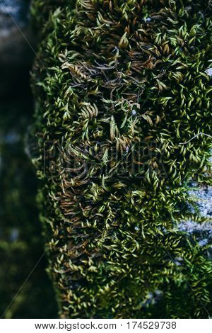 Green moss and lichen texture and background. Mossy stone background. Abstract texture and background for designers. Mossy texture. Closeup view of green moss and lichen.