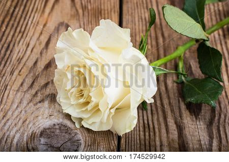 One stale white rose on Wood. Studio Photo